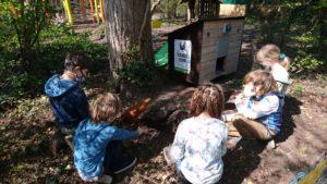 Hühner in der Glocksee Schule